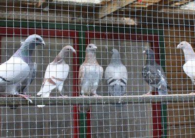 duiven-bij-Sam-v.d.-Hoven